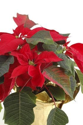 1000 images about add holiday cheer with poinsettias on