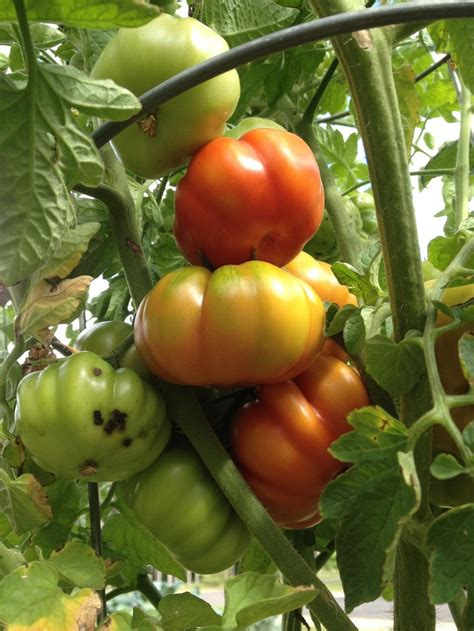 Patio Tomatoes Care by Tomatoes Plant Care And Collection Of Varieties Garden Org
