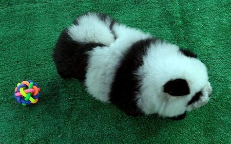 puppies that look like pandas for sale dogs that look like pandas neatorama