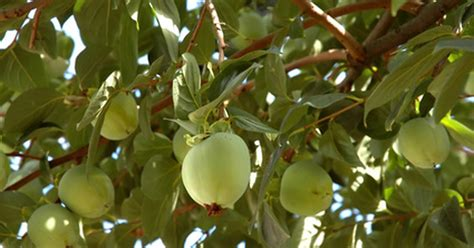 pesticides for fruit trees pesticides for fruit trees ehow uk