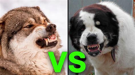 los perros magicos de 0892391294 5 hunde die einen wolf t 246 ten k 246 nnen youtube