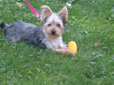 silky terrier vs yorkie silky terrier vs terrier breeds picture