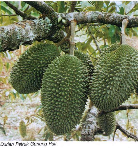 Bibit Durian Petruk bibit durian cv mutiaratani agrisarana