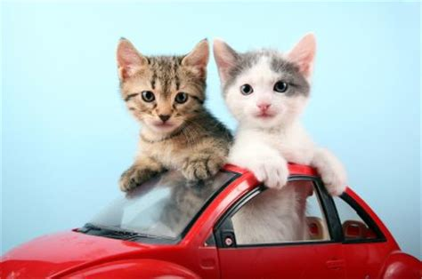 moving your cat or kitten to your new house or home travel
