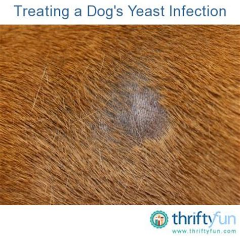 ear yeast infection treatment how to treat a s ear yeast infection breeds picture