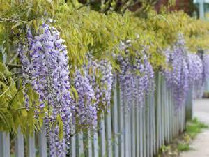 vermont garden journal growing wisteria vine vermont