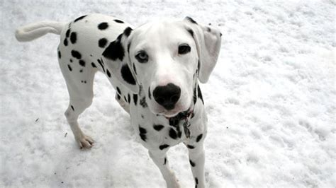 how much are dalmatian puppies dalmatian dogs and puppies breeds journal
