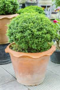 Pots For Plants Evergreen Container Plants Learn About Container Grown
