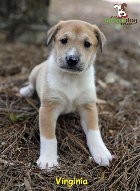 puppies virginia adoptable dogs virginia youluckydogrescue org