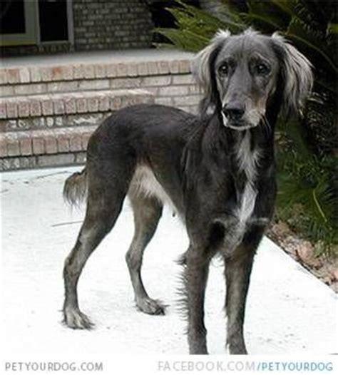 afghan hound golden retriever mix afador afghan hound and labrador retriever mix ocd