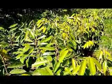 Bibit Bandeng Jawa Timur jual bibit durian di malang hub 0812 160 5732 jawa timur
