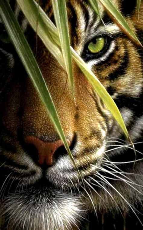 hd wallpaper for android tiger tiger live wallpaper android apps on google play
