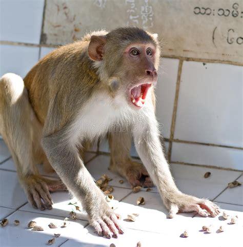 screaming monkey stock image image  wild family wildlife