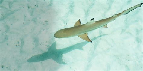 baby shark do baby sharks sharkopedia