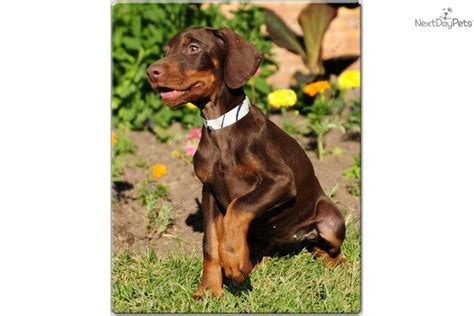 european doberman puppies for sale pin european doberman puppies for sale image search results on