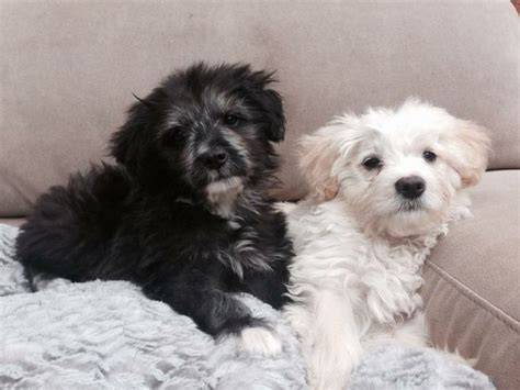 havanese poodle puppies poodle puppies pictures breeds picture