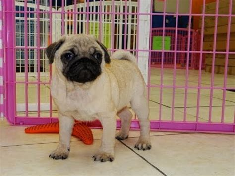 pugs for sale houston tx not puppyfind craigslist oodle kijiji hoobly ebay marketplace atlanta
