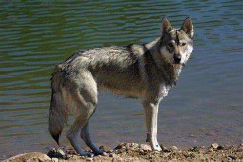 wolf looking dogs the best seven dogs that look like wolves pethelpful
