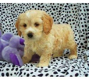 cockapoo puppies for sale in florida cockapoo puppies florida