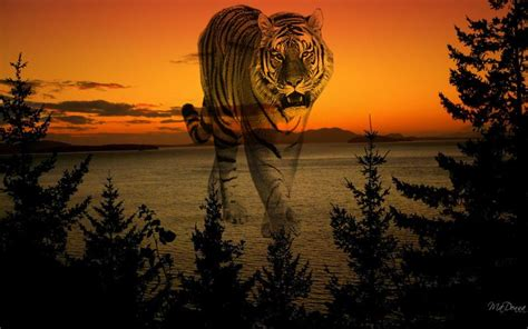 hd sunset tiger wallpaper
