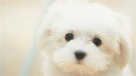 puppies live wallpaper live puppy wallpaper