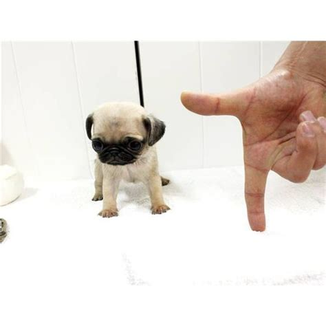 tea cup pug teacup pug i thought they were already tiny enough soooo pet obsession