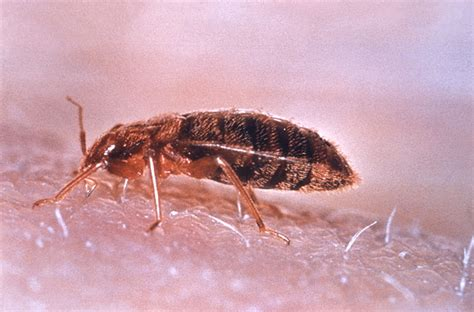 Can Bed Bugs Live In Your Clothes by How To Kill Bed Bugs With Steam Ehow Uk