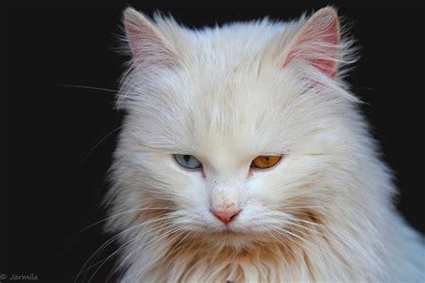 occhi diversi il gatto bianco dagli occhi diversi juzaphoto