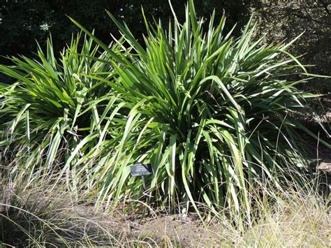 Garden Of Flaxseed Plantfiles Pictures Mountain Flax Ucsc Phormium