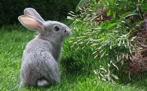 Baby Bunnies In Backyard Konijnen Achtergronden Hd Wallpapers