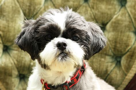 foster shih tzu shih tzu learns to after rescued from puppy mill
