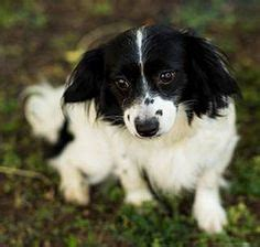 havanese rescue bay area 1000 images about rescue pups dogs on australian shepherd dogs