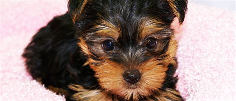 manhattan puppies and kittens deal in all type of puppies breeds kittens in manhattan ny