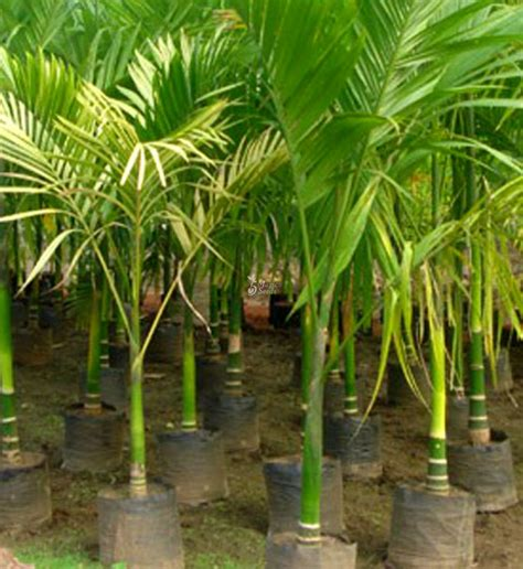 trees  trees pakku maram