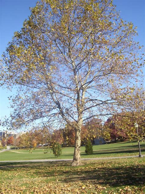 american sycamore virginia tree blog 1 american sycamore