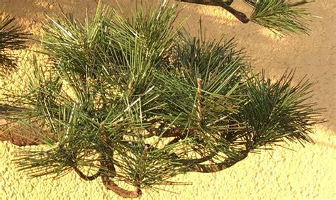 Bor Bonsai umetni bonsai bor 65cm umetni bonsaji iglavci