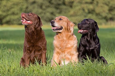 chocolate lab and golden retriever labrador retriever golden retriever sitzend hundefoto hundebild foto bild belcani