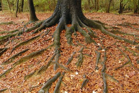 maple tree roots surface a certified arborist shines a light on tips of the trade seh 174