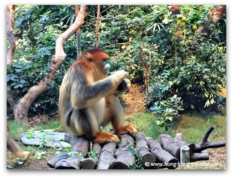 ocean park golden snub nosed monkeys