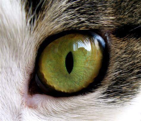 third eyelid ask a vet how do cats third eyelids work catster