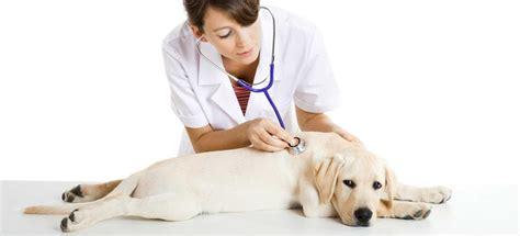 imagenes de medicas veterinarias bozal archivos veterinarios onlineveterinarios online