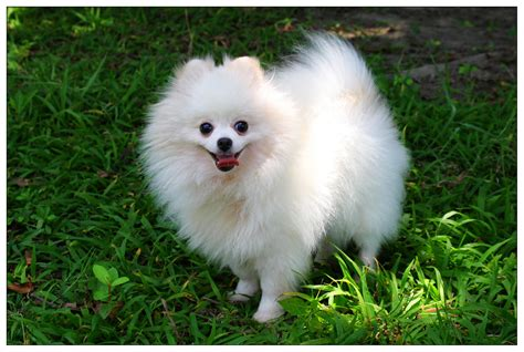 white fluffy pomeranian puppies a fluffy white pomeranian pomeranian
