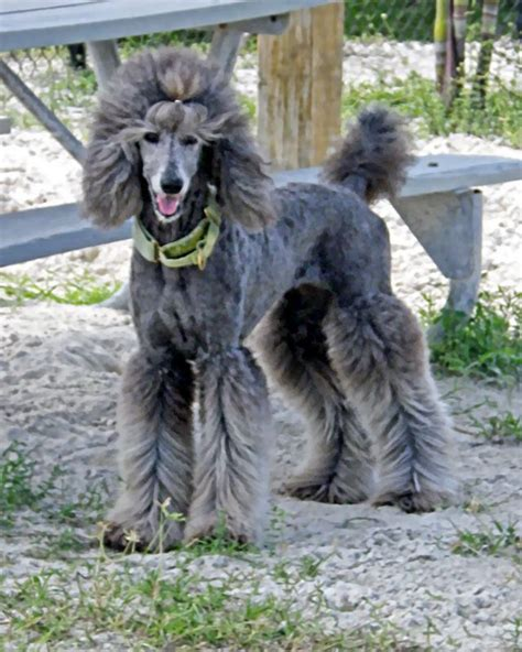 types of cuts for poodles image result for types of standard poodle cuts crate
