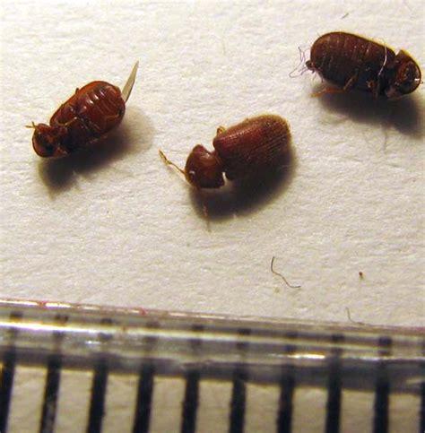 Pantry Moths Australia by Drugstore Beetles Australia Sam