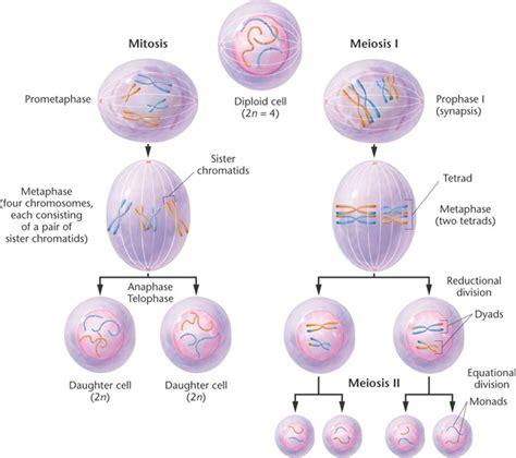 a diagram of meiosis meiosis diagram diagram site