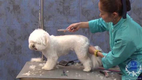 grooming a havanese havanese puppy cut www imgkid the image kid has it