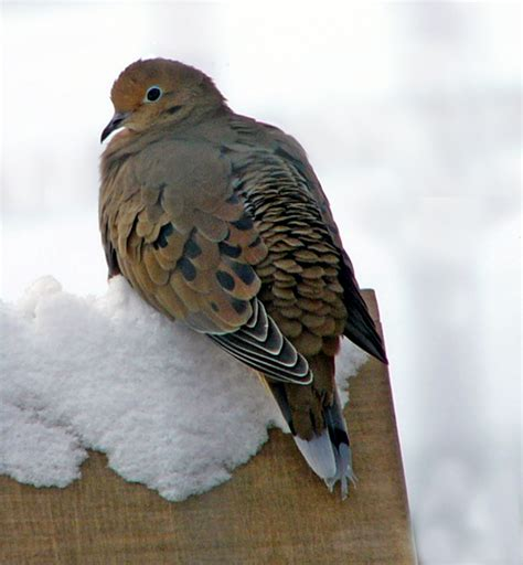 mourning dove resting on the feeder photo cynthia