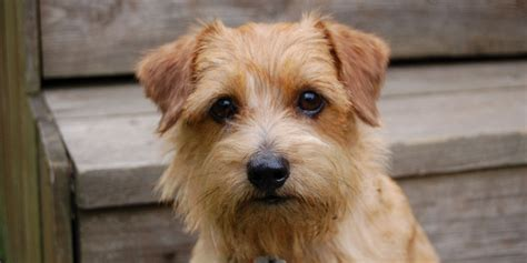 types of terrier dogs breeds breeds list pictures of terriers breeds about breeds picture