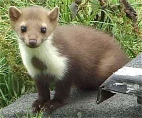 Imagenes Animal Marta | im 193 genes y fotos de animales martas