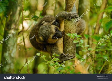 show me a picture of a baby golden retriever hapalemur aureus golden bamboo lemur stock photo 379752142